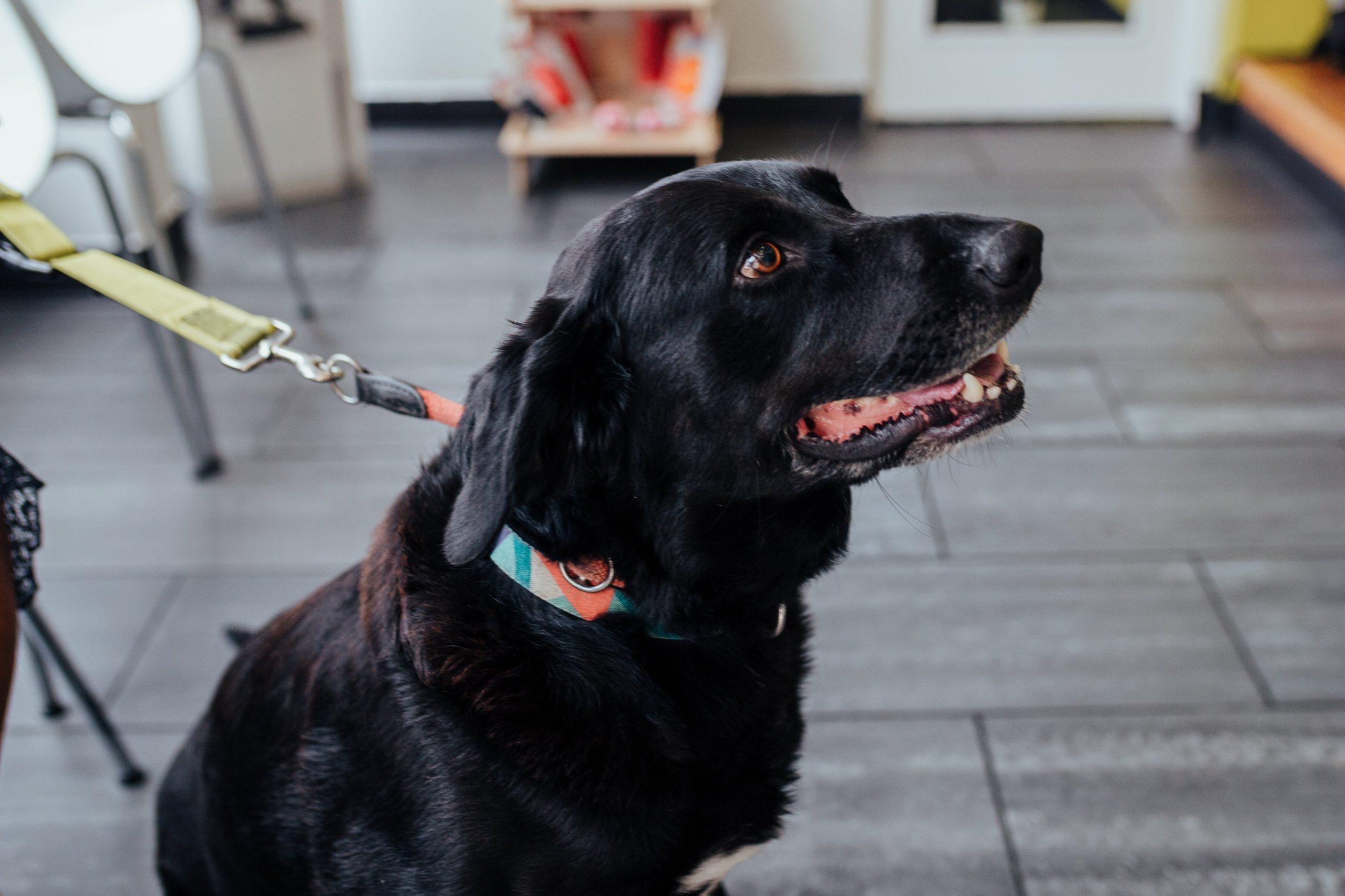 artigo sobre a ingestão de chocolate por cães