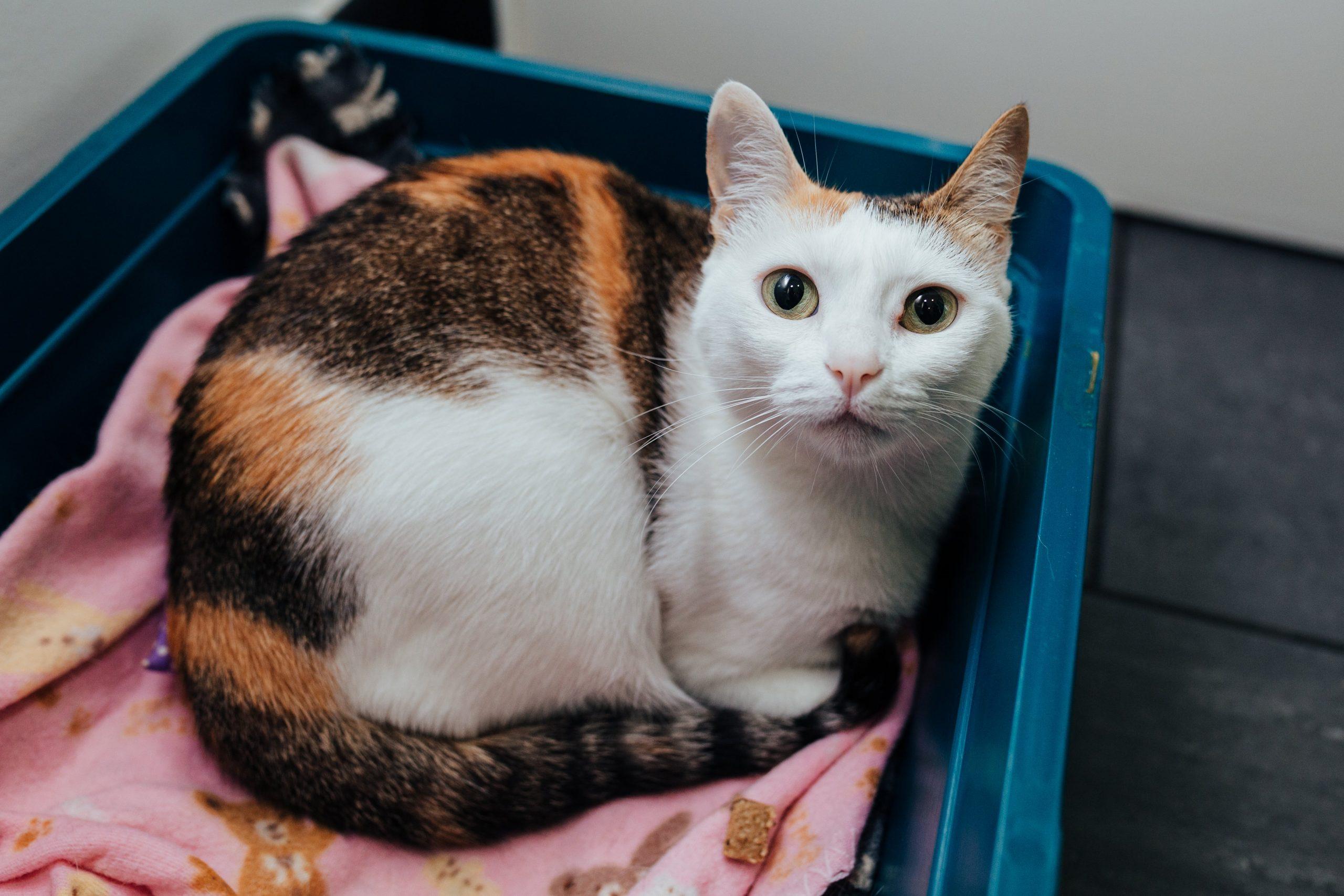 consulta com gato na clínica veterinária vet point em oeiras