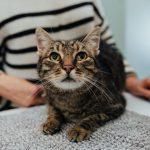gato a olhar para o dono numa consulta veterinária da vetpoint em oeiras