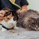 Esterilização de gata